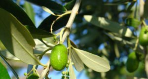 Olivenbaum vermehren - So klappt's durch Stecklinge und Samen