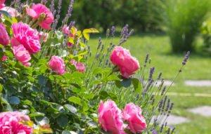 Rosen wirken unterpflanzt gleich noch schöner