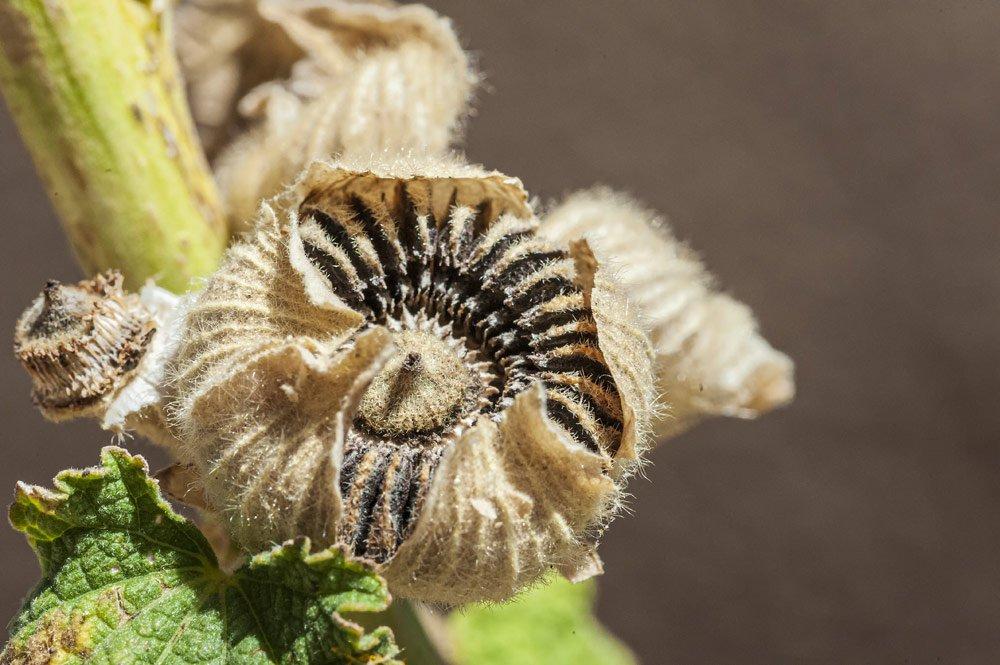 Stockrose über Samen vermehren