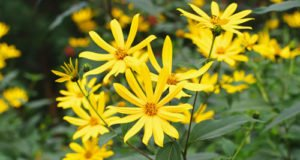 Topinambur pflanzen - So bauen Sie die Erdartischocke an