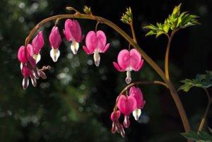 Das Tränende Herz ist eine genügsame Pflanze