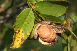 Walnussbaum: Krankheiten und Schädlinge erkennen und bekämpfen
