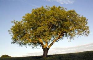 Walnussbaum pflanzen – Wichtige Hinweise zum Platzbedarf und dem richtigen Anbau