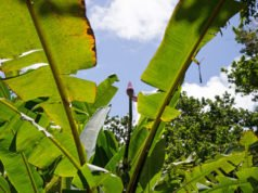 Zierbanane bekommt braune Blätter - Ursache & Behandlungstipps