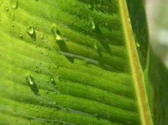 Zierbanane gießen und düngen