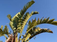 Zierbanane pflanzen - Tipps zu Standort und Boden