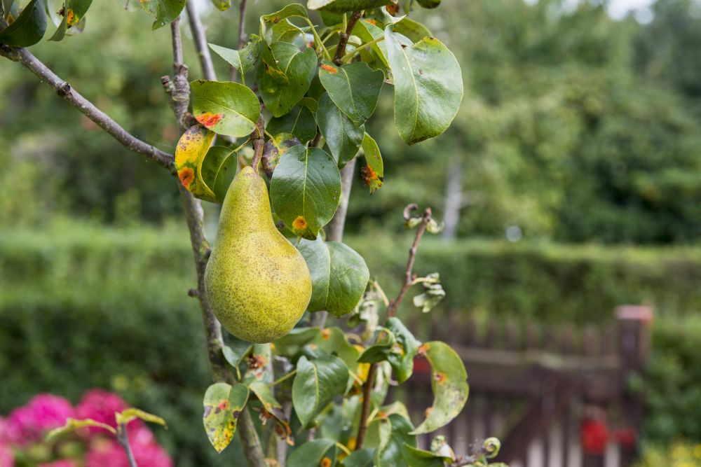 Birnbaum Krankheiten