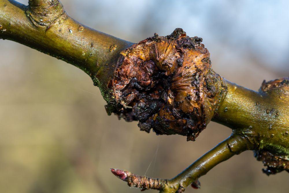 Birnbaum: Obstbaumkrebs
