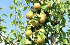 Birnbaum vermehren