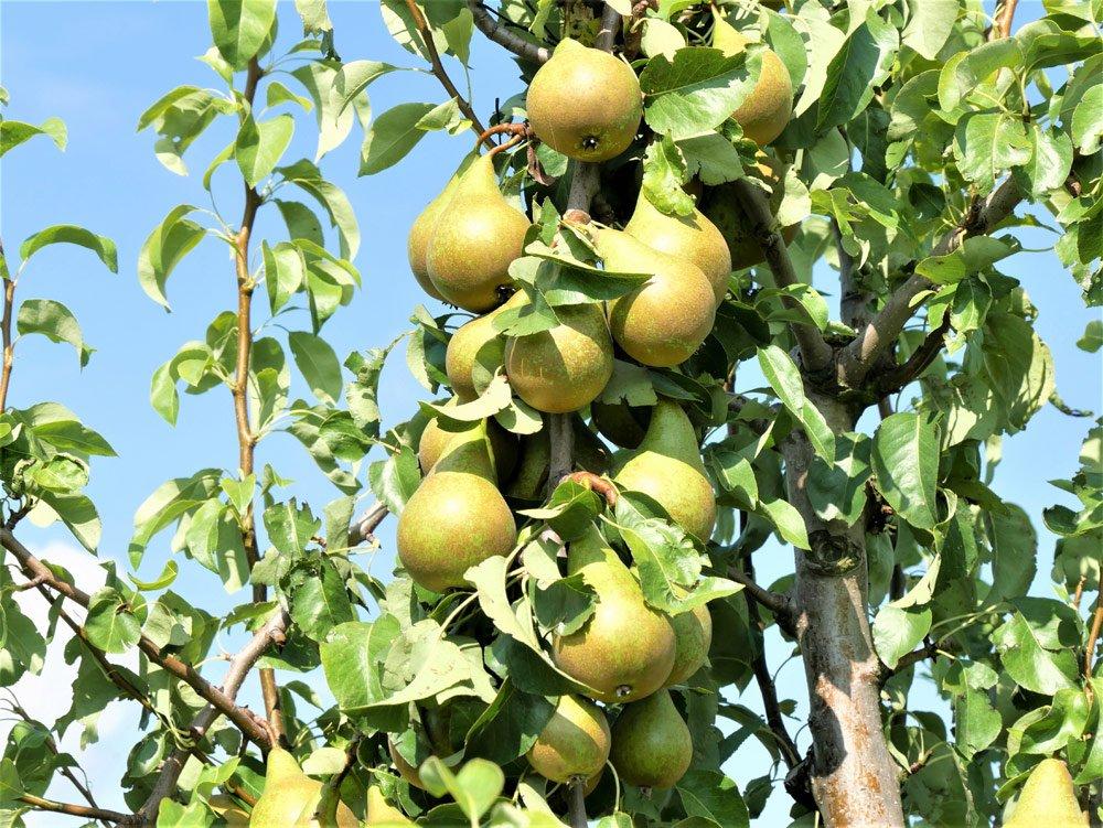 Birnbaum vermehren – Schritt für Schritt erklärt