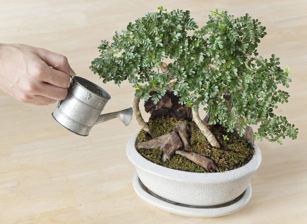 Bonsai gießen