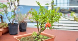 Bonsai über Stecklinge vermehren