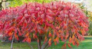 Essigbaum aus dem Garten entfernen