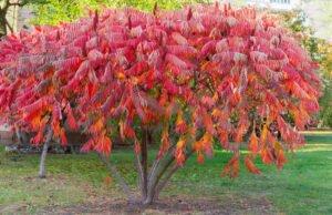 Essigbaum vermehren