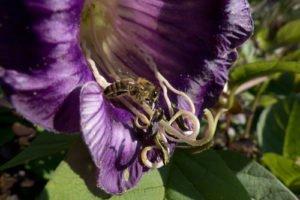 Glockenrebe: Krankheiten und Schädlinge erkennen und bekämpfen