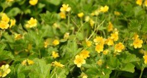 Golderdbeeren pflanzen - So wächst die Waldstaude auch in Ihrem Garten