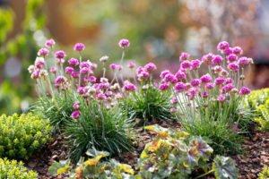 Grasnelken gedeihen gut im Steingarten