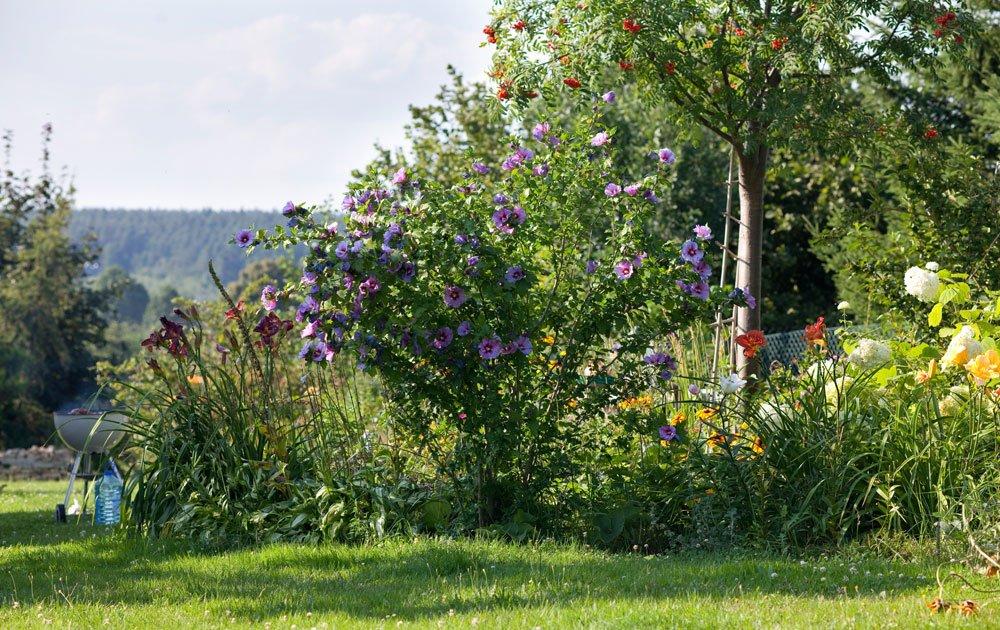 Blauer Hibiskus im Garten
