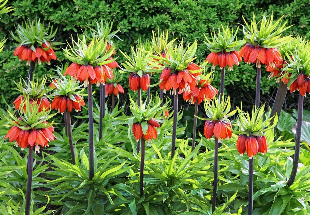 Kaiserkronen vermehren – So erhöhen Sie den Blütenbestand