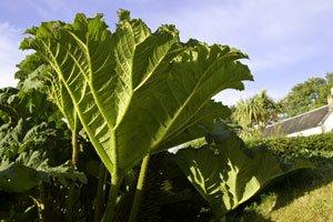 Mammutblatt pflanzen - Tipps zu Anbau und Pflege