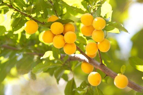 Mirabellenbaum Schneiden So Erziehen Verjungen Und Lichten Sie Ihn Aus