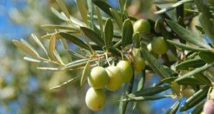 Olivenbaum schneiden - Tipps und Anleitung