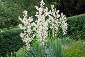 Palmlilien pflanzen - Tipps zu Anbau, Zeitpunkt und Bodenbeschaffenheit