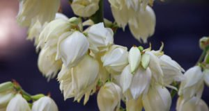 Palmlilien überwintern