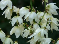 Plamlilie vermehren - Ableger, Samen, Teilung