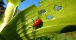 Palmlilien Krankheiten und Schädlinge erkennen und bekämpfen