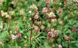 Pimpinelle pflanzen - Tipps für Aussat, Pflege und Ernte