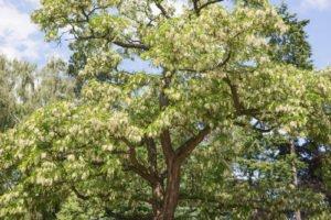 Robinien werden bis zu 25 Meter hoch
