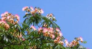 Seidenbaum: Krankheiten und Schädlinge erkennen und bekämpfen