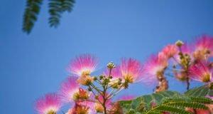 Seidenbaum pflanzen Tipps