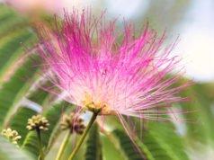 Siedenbaum vermehren - So wird's gemacht