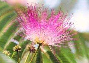 Seidenbaum vermehren - So wird's gemacht