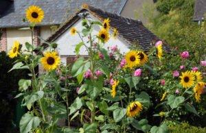 Sonnenblume: Krankheiten und Schädlinge