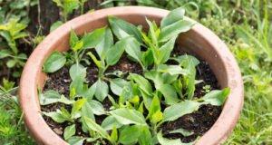Topinambur im Topf pflanzen - wichtige Hinweise