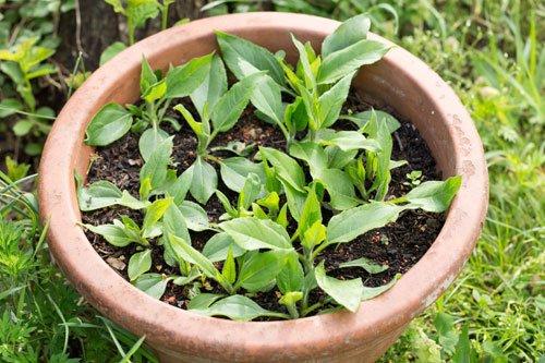 Topinambur im Topf pflanzen u2013 So schaffen Sie die