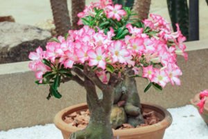 Wustenrose Pflanzen Optimale Bedingungen Fur Die Exotische Pflanze
