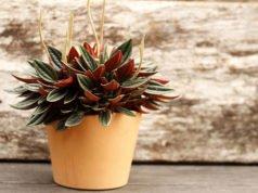 olivenbaum pflegen olivenb ume lieben sonne. Black Bedroom Furniture Sets. Home Design Ideas
