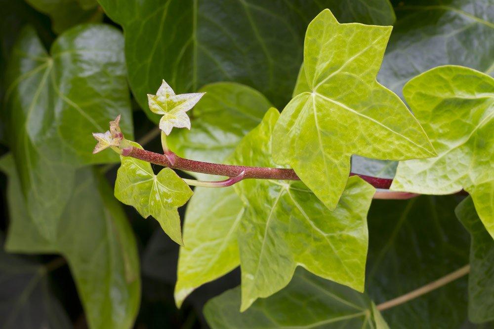 Efeu pflanzen und pflegen