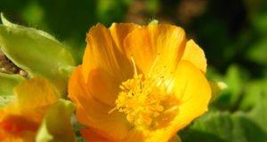 Flanellstrauch pflanzen Tipps für Kübel und Freiland