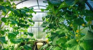 Gurken im Gewächshaus pflanzen