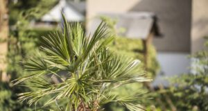 Hanfpalme bekommt braune Blätter