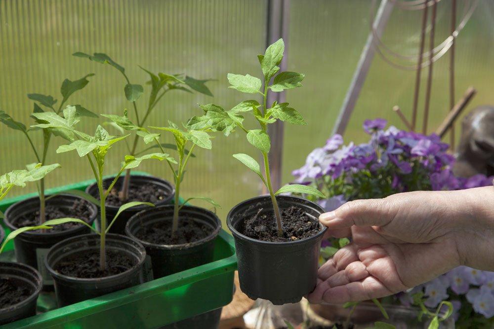 junge Tomtenpflanzen
