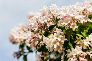 Kolkwitzien zählen zu den genügsamen Pflanzen
