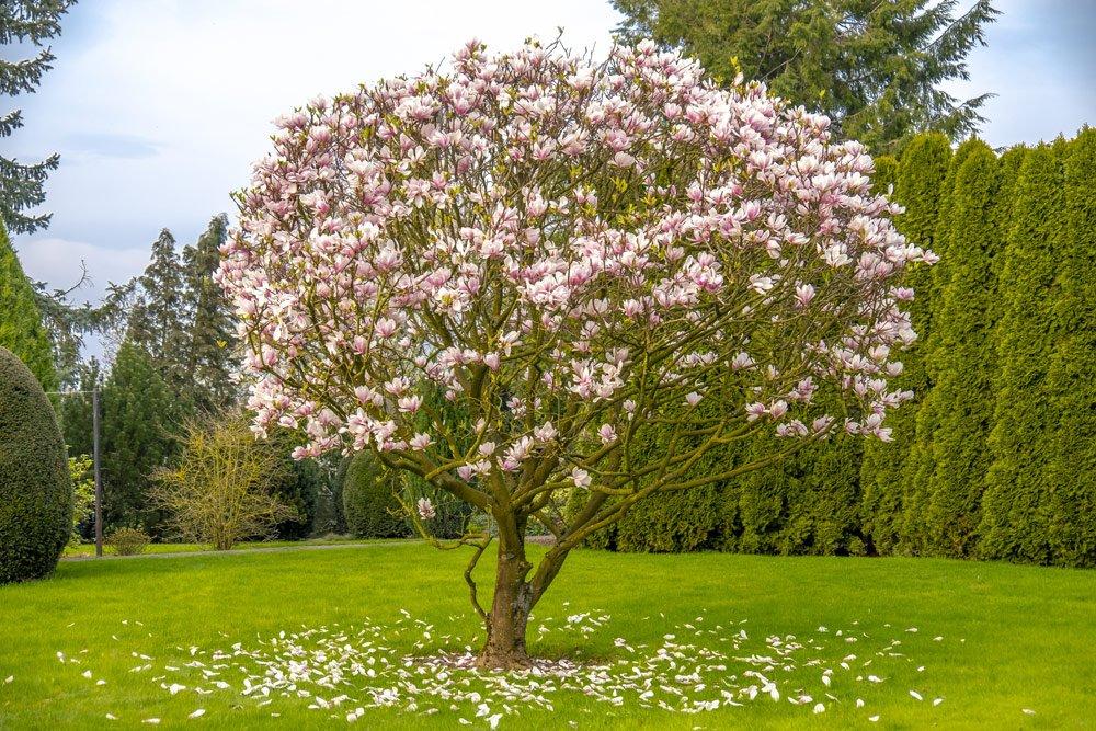 Magnolie unterpflanzen