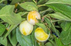 Mirabellen: Krankheiten und Schädlinge erkennen und effektiv bekämpfen