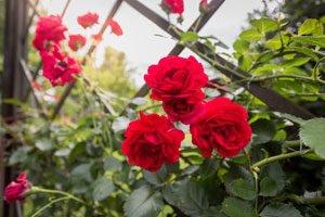 Rosenkrankheiten: Ursachen, Schadbilder & Bekämpfung